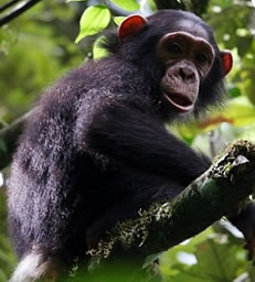 chimps tracking in Nyungwe