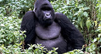 Uganda Gorilla Safari - Double Gorilla Tracking