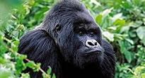 Rwanda Gorilla Safari - Mountain Gorilla Trekking