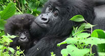 Virunga National Park in Congo - Gorilla safaris