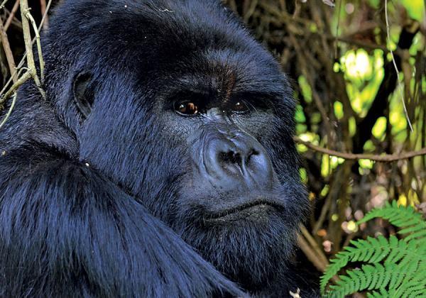 mountain gorilla view lodge - volcanoes national park