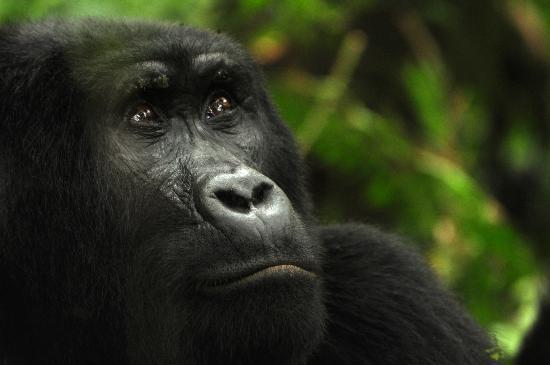 Bwindi Gorilla Trek - 3 days Gorilla Safari - Uganda Tour