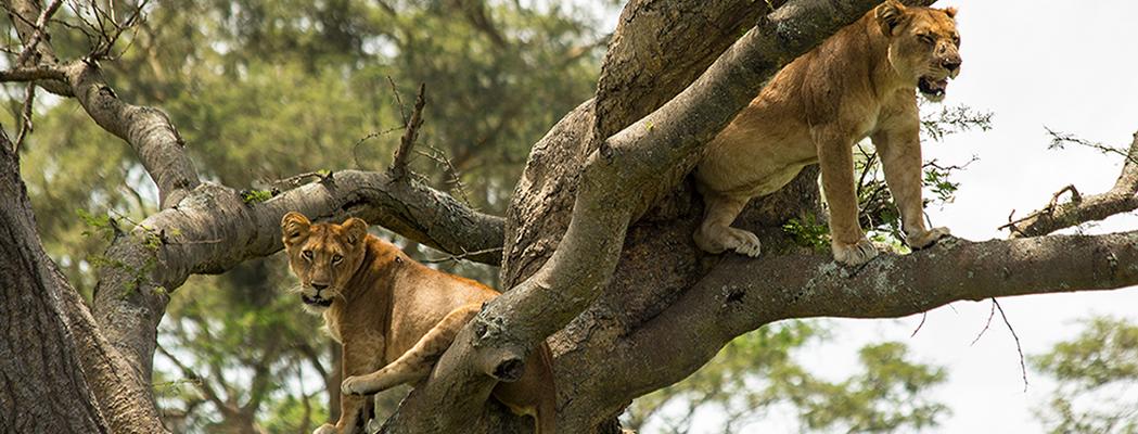 ishasha-tree-climbing-lions