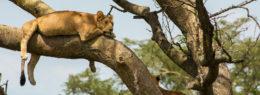 ishasha tree climbing lions