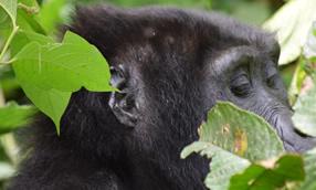 Short gorilla treks