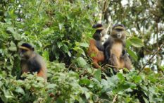 Where to see golden monkeys