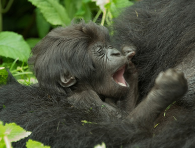 About Gorillas