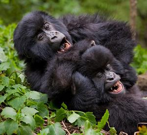 Short Uganda gorilla treks