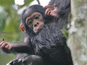 5 Days Rwanda gorilla & Chimpanzee safari