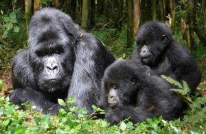 Gorilla Trekking & Habituation