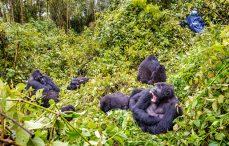 Combined gorilla safaris Uganda and Rwanda