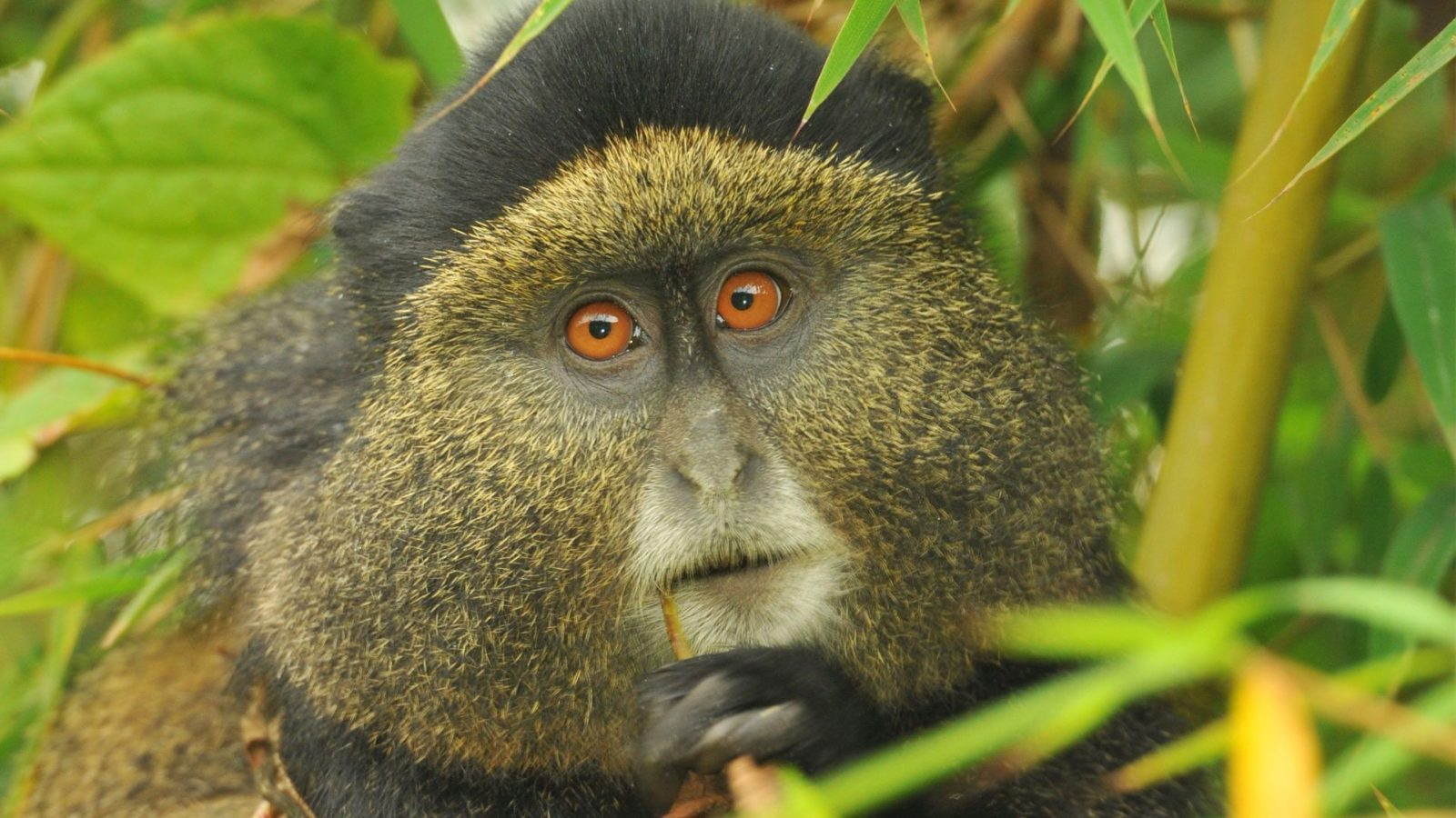 golden monkey tours