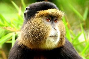 Primate tours in Uganda