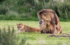 Research lion tracking in Uganda