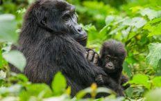 Bwindi Gorillla tours