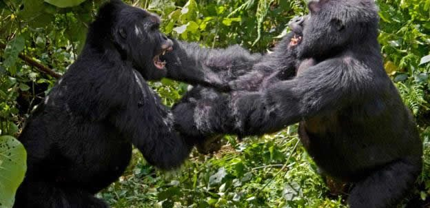 Why do gorillas fight