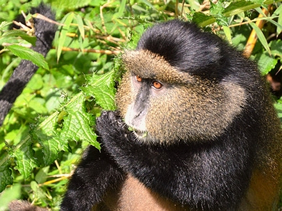 Golden monkeys in Rwanda