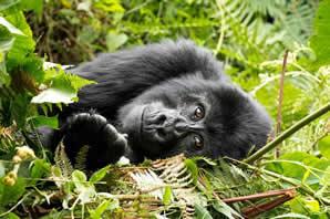 Rwanda gorillas safaris
