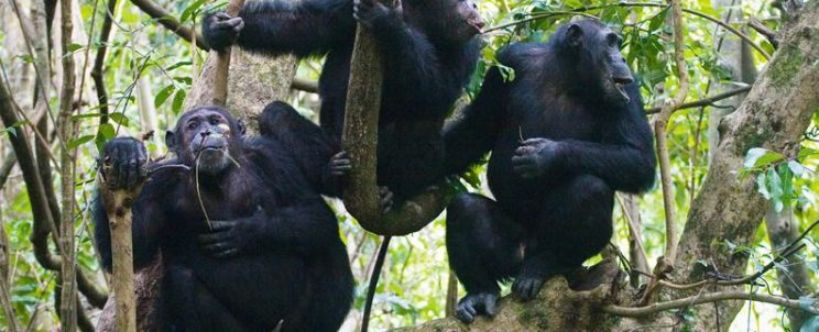 Congo Chimpanzee Tours