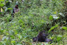 Gorilla-protection