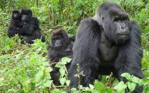 Bwindi Gorilla Groups