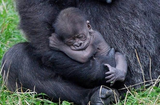 Uganda welcomes 2 baby gorillas