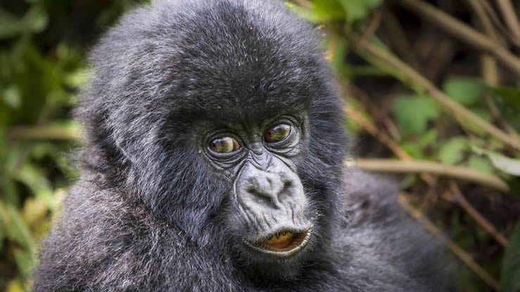 24 baby gorillas named virtually in Rwanda