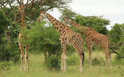 Rwanda-uganda-safaris