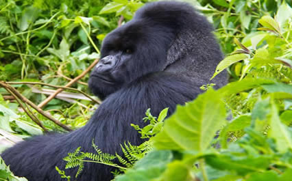 2days-uganda-gorilla-tour