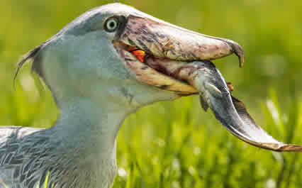 Uganda birding safaris